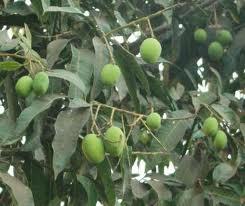 medicinal plants aam n medicinal plants and their uses medicinal plants aam n medicinal plants and their uses mangoes tree a mango tree herbal medicinal plants herbal plants herbs uses of medicinal plant